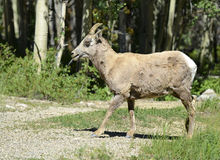 Female bighorn sheep in forest -  Stock Photo