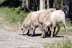 Female bighorn sheep in forest -  Stock Photos