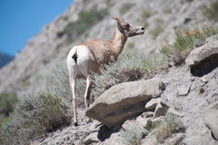 Female Bighorn Sheep Stock Image