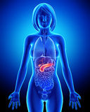 Female biliary anatomy in blue x-ray Royalty Free Stock Photos