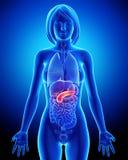 Female biliary anatomy in blue x-ray Stock Photo
