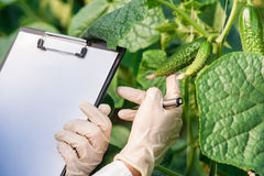Female bio technician inspecting cucumber leaves Stock Photography