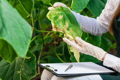 Female bio technician inspecting cucumber leaves Stock Image