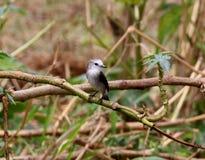 Female bird arundinicola leucocephala male on branch of tree Stock Images