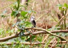 Female bird arundinicola leucocephala male on branch of tree Stock Image