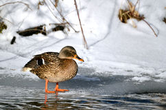 Female bird of wild duck mallard stands on ice in sunshine, snowy river bank in background Royalty Free Stock Images