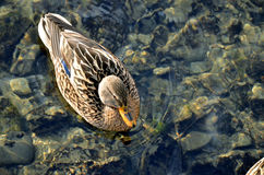 Female bird of wild duck mallard swims in the water in sunshine, above view.  Stock Images