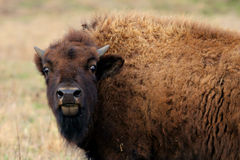 Female bison Stock Photos