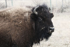 Female bison Stock Images
