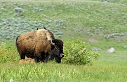 Female Bison with calf and cowbirds on her back. Stock Photos