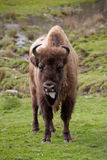Female Bison looking at camera, tongue sticking out. European Bison (Bison bonasus) are less muscular but taller than the American bison Royalty Free Stock Image