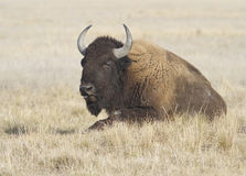 Female bison resting in autumn steppe. Royalty Free Stock Photos