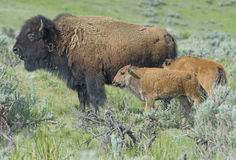 Female Bison with two calves in green field. Stock Images