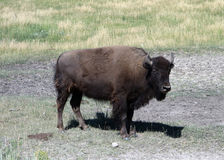 A female bison in wyoming Royalty Free Stock Images