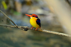 Female Black-backed Kingfisher (Ceyx erithacus) Stock Photo