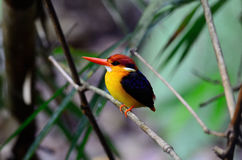 Female Black-backed Kingfisher (Ceyx erithacus) Royalty Free Stock Photos