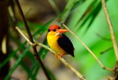 Female Black-backed Kingfisher (Ceyx erithacus) Stock Photo