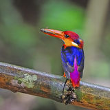 Female Black-backed Kingfisher Royalty Free Stock Image