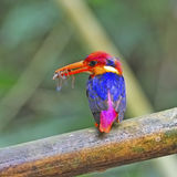 Female Black-backed Kingfisher Stock Photography