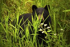 Female Black Bear and Cub. A female black bear mother and her cub carefully watch Stock Images