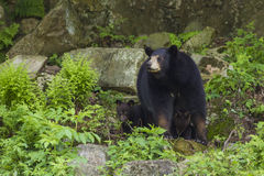 Female Black Bear with cubs Royalty Free Stock Photos
