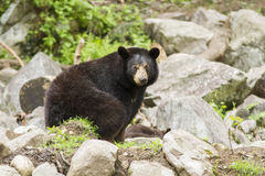 Female Black Bear with cubs Royalty Free Stock Image