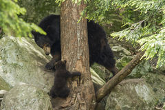 Female Black Bear with cubs Stock Images