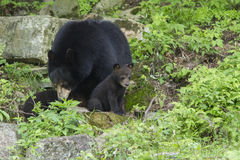 Female Black Bear with cubs Royalty Free Stock Photography