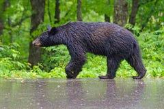 A female Black Bear walks in the rain. A sow Black Bear walks in the rain just outside Cades Cove stock photos