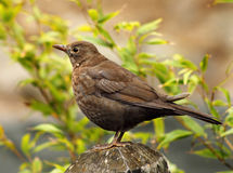 Female Black Bird. Blackbirds are ground feeders pulling worms and pecking at insects and berries at the bottom of hedgerows. The males are all black and the Stock Images