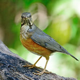 Female Black-breasted Thrush Royalty Free Stock Images