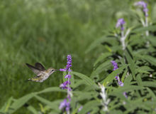Female Black-chinned Hummingbird Stock Photography