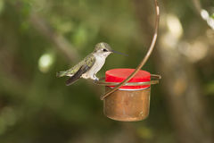 Female Black-Chinned Hummingbird Royalty Free Stock Photos
