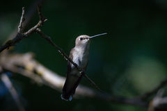 Female Black Chinned Hummingbird. A female black chinned hummingbird perched on a limb under a canopy of trees, with limited light hanging over it's body stock images