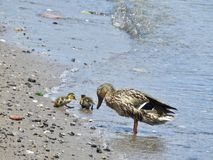 Female Black Duck Tending to Two Ducklings. Shoreline along Hudson River motherly waterfowl migrating Royalty Free Stock Photos