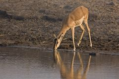 Female Black-faced impala at waterhole Stock Photography
