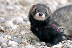 Female black ferret Stock Photo