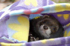 Female black ferret Stock Images