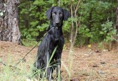 Female Black Flat Coat Retriever dog. Female black long hair Flat Coat Retriever dog on leash in pine tree woods. Outdoor animal adoption photography for Walton Royalty Free Stock Photography