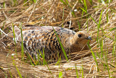 Female of Black Grouse. On dry grass Stock Image