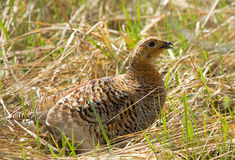 Female of Black Grouse. On dry grass Royalty Free Stock Photo