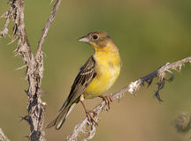 Female Black-headed Bunting. Royalty Free Stock Photos