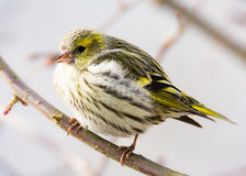 Female black-headed goldfinch Royalty Free Stock Images