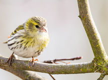 Female black-headed goldfinch Stock Photography
