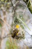 Female black-headed weaver bird. Building a nest Royalty Free Stock Photo