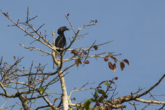 Female Black Hornbill  on Fig Tree Royalty Free Stock Photo