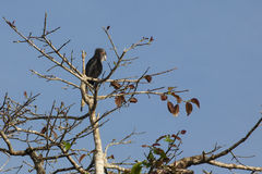 Female Black Hornbill Preening on Fig Tree. Against the clear, blue sky, this sexually dimorphic, black female hornbill preening herself atop a fig tree is Royalty Free Stock Photography