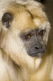 Female Black Howler Monkey. Head shot of Female Black Howler Monkey (Alouatta Caraya) looking at viewer Stock Photo