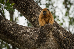 Female black howler monkey sitting in tree stock photos