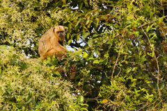 Female Black Howler Monkey in Tree Royalty Free Stock Image